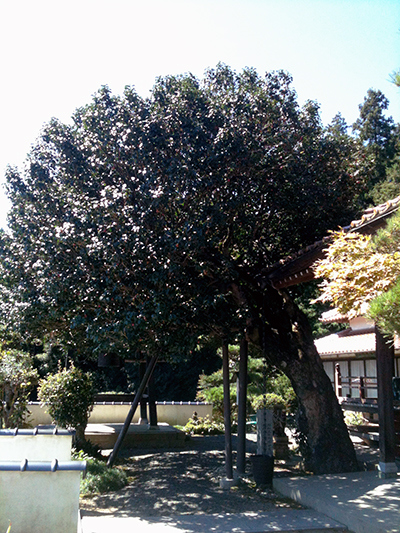 教西寺の薮椿