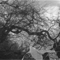 平栗大師堂にある(平栗の木)